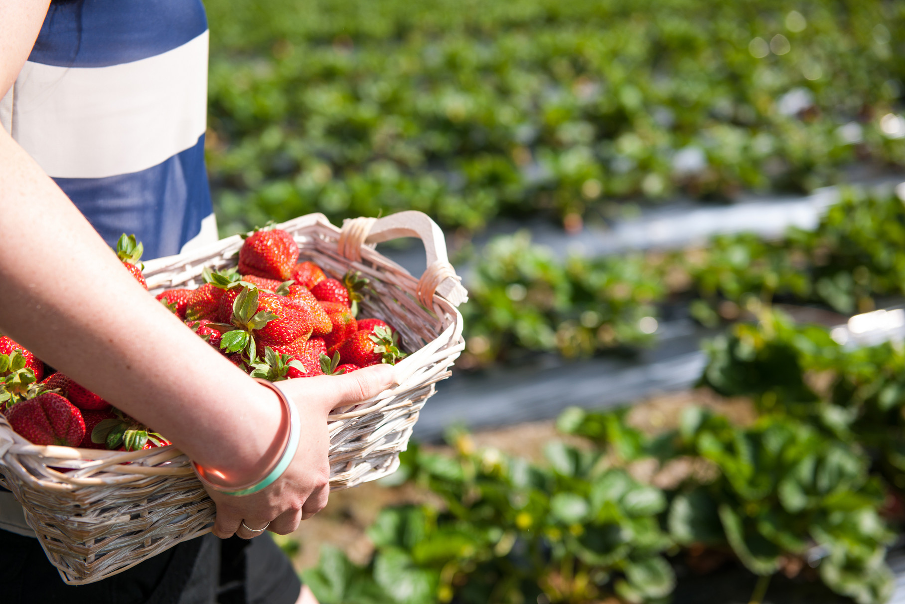 Strawberry Picking at Beerenberg Farm, Hahndorf, Adelaide Hills, South Australia