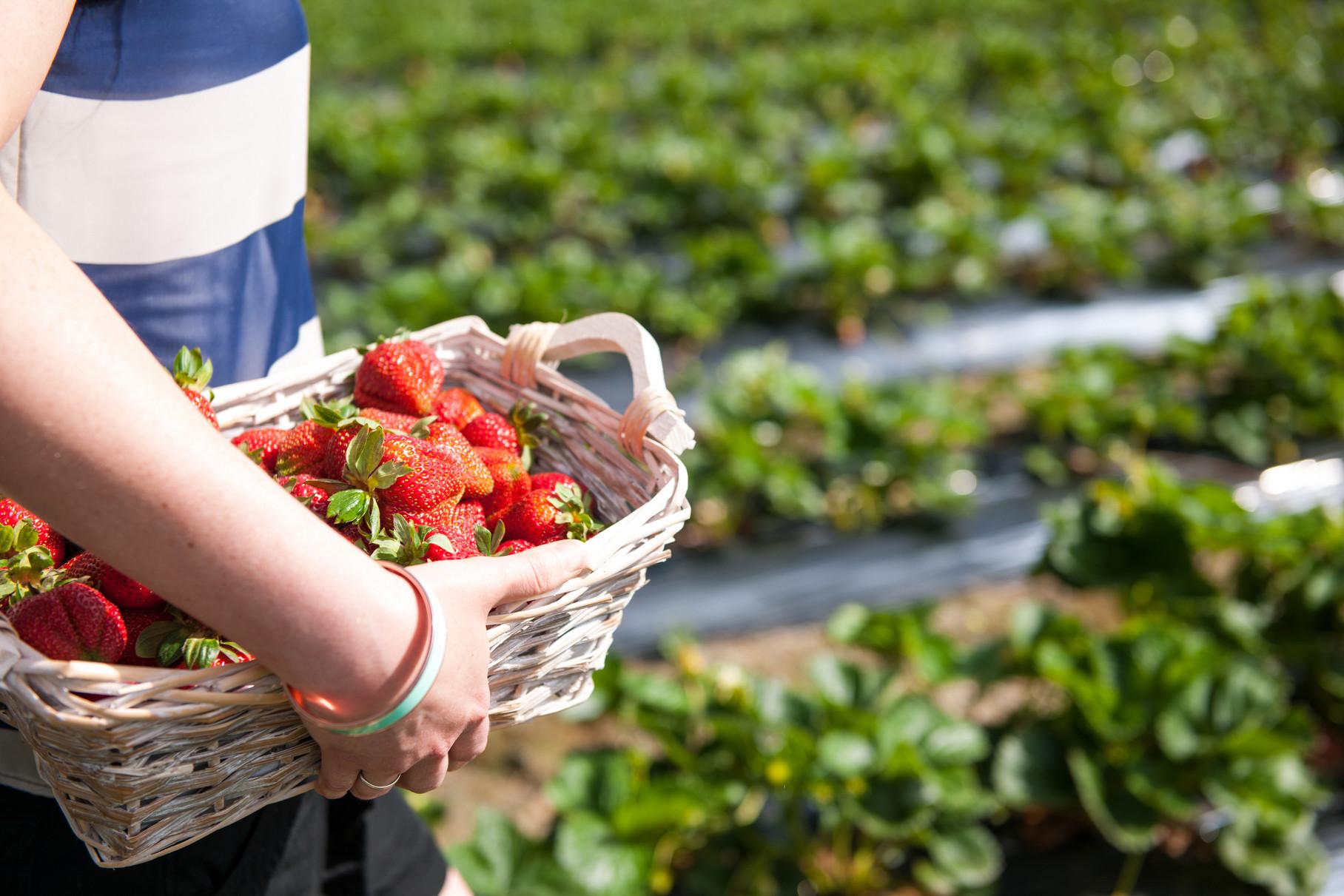 Strawberry Picking at Beerenberg Farm, Hahndorf, Adelaide Hills, South Australia