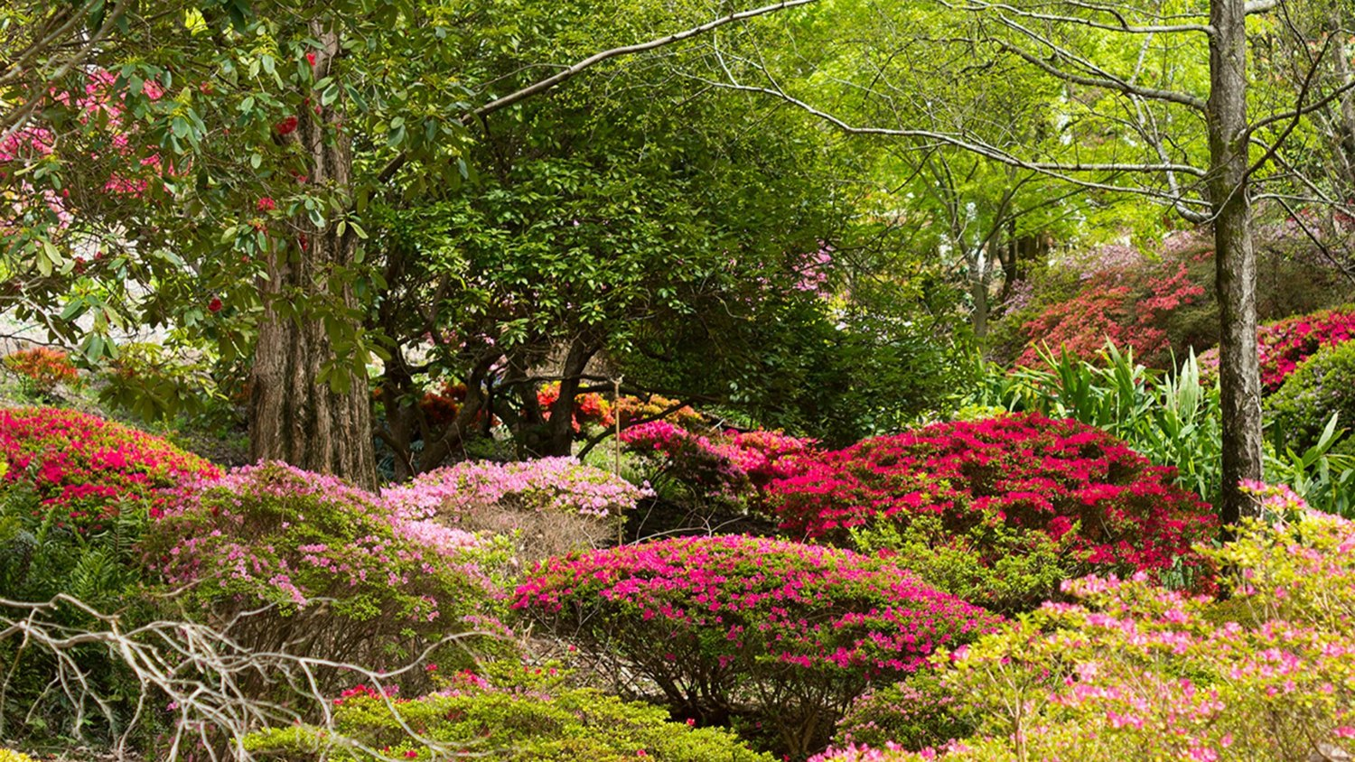 Rhododendron Valley, Mount Lofty Botanic Garden