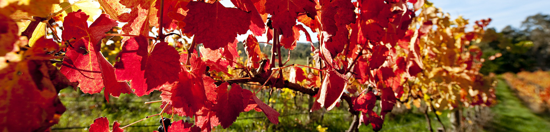 Autumn Vineyards, Adelaide Hills