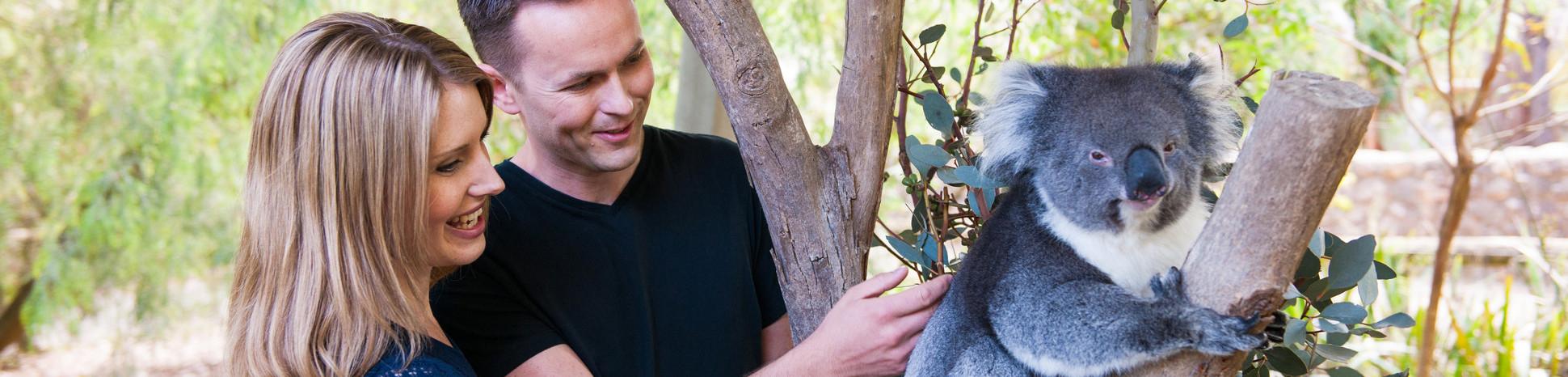 Koala at Cleland Wildlife Park, Crafers, Adelaide Hills