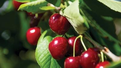 Cherry Season in the Adelaide Hills