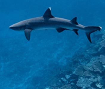 6. SHARKS