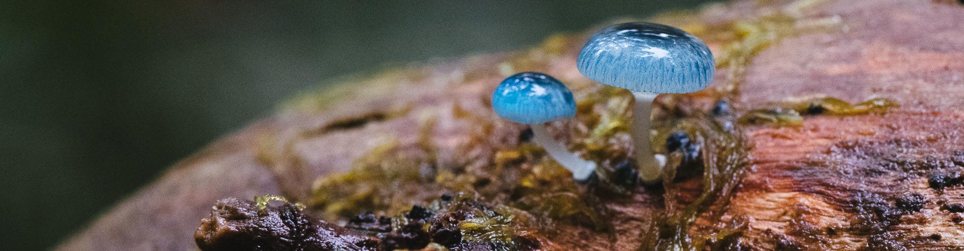 Mycena Interrupta forest fungi bushwalk Great Western Tiers