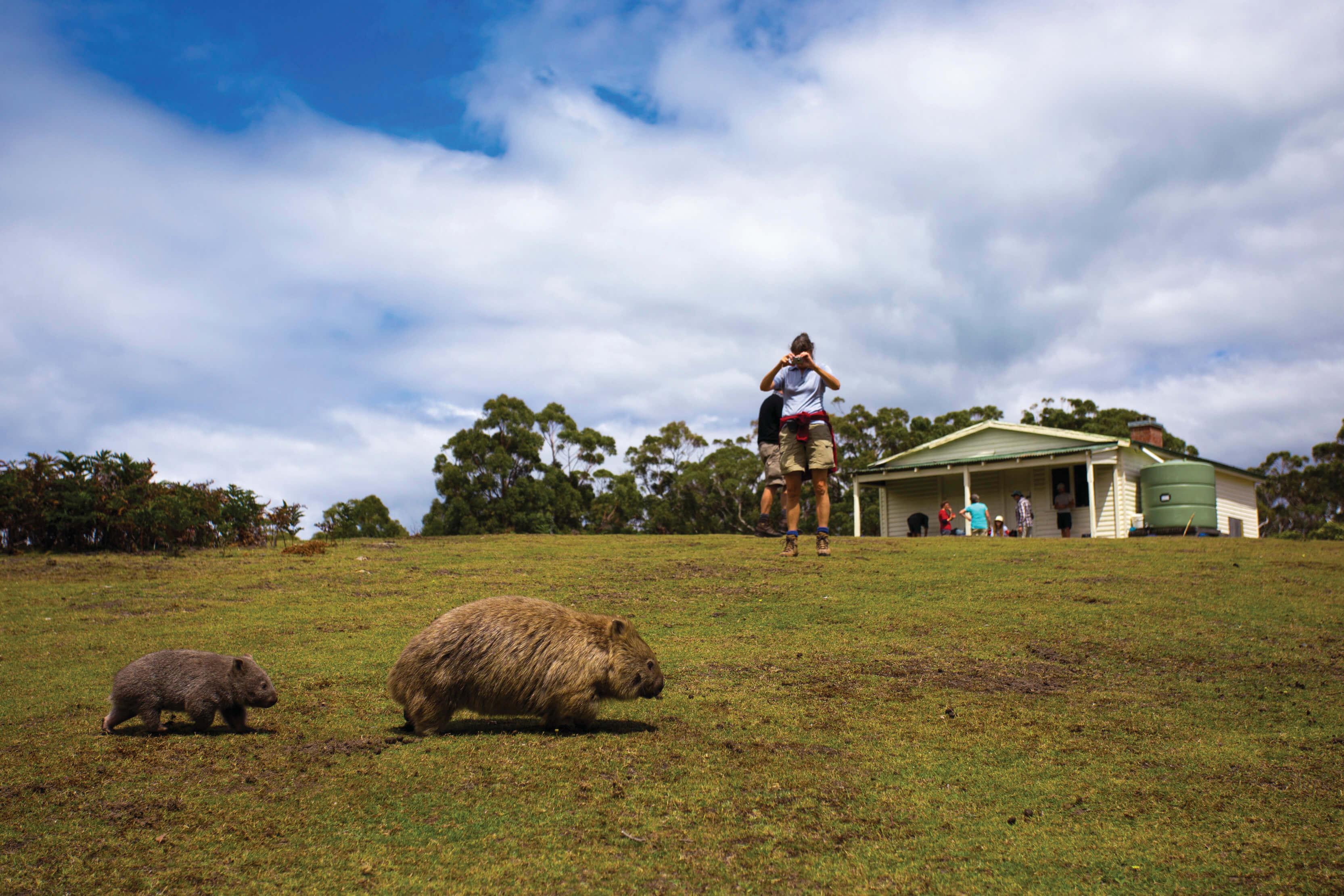 East-Coast-Tasmania Maria-Island Great-Walks-of-Australia-The-Maria-Island-Walk Wildlife Wombats 128677-2
