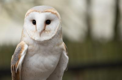 Our Awassi 'Evening with the Owls'