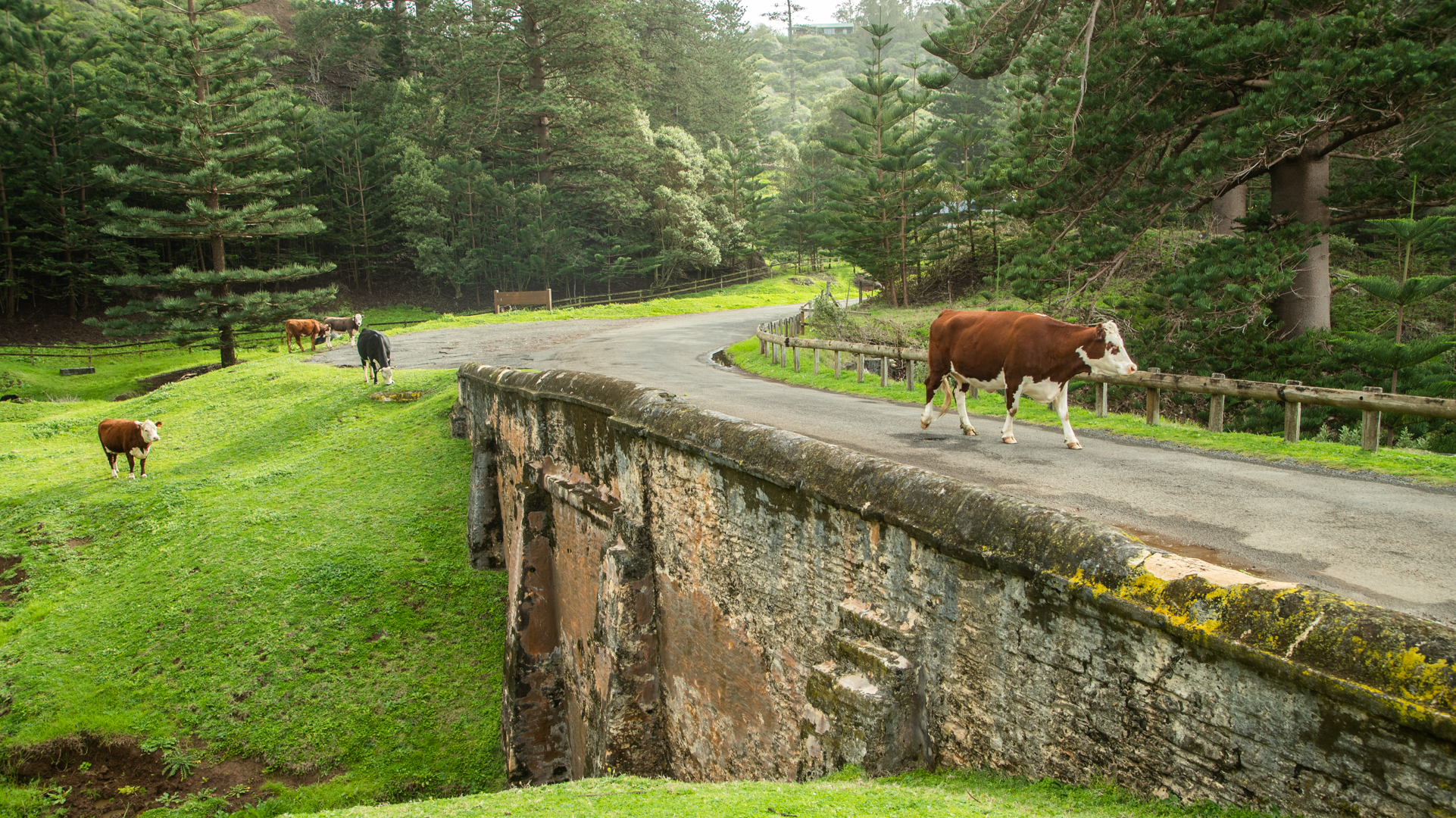 Cow crossing Bloody Bridge with several cows grazing in the background on the grass by the road and pine trees.