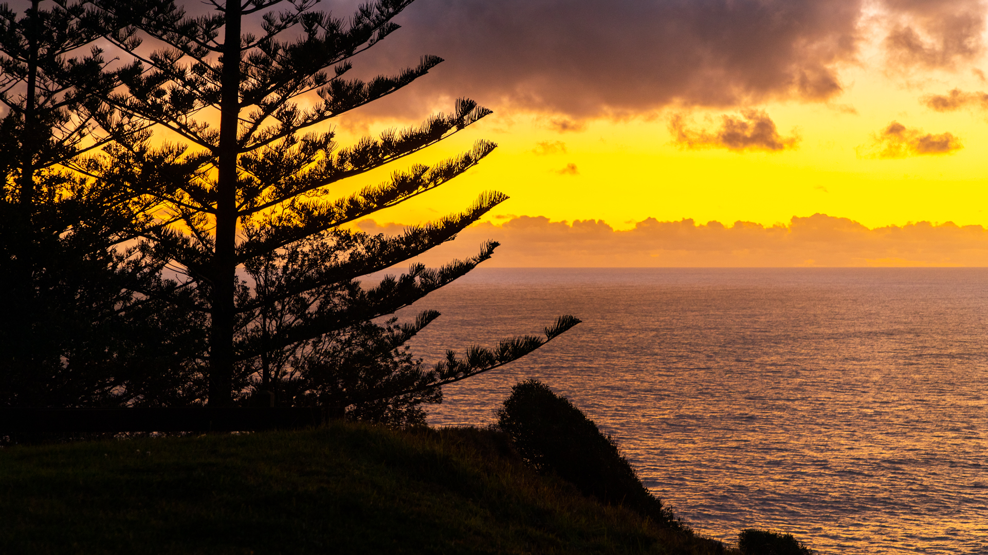 A view of the ocean's horizon at dusk. Behind the silhouette of a Norfolk pine tree, the golden sky is reflected onto the water.