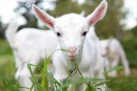 The Hilli Goat Cheese Tour