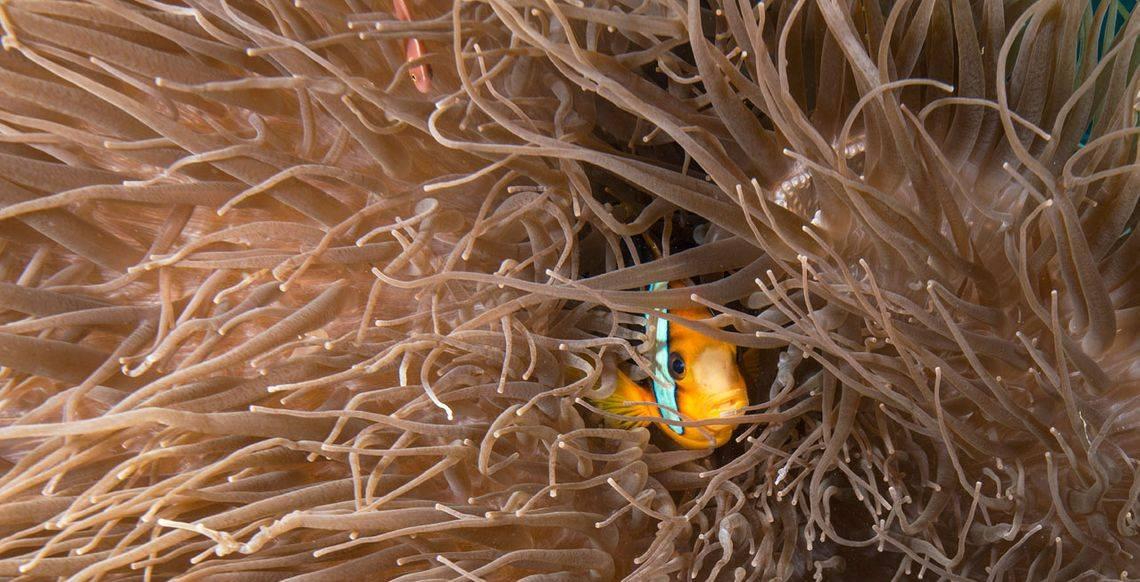 Vanuatu Dive Clown Fish