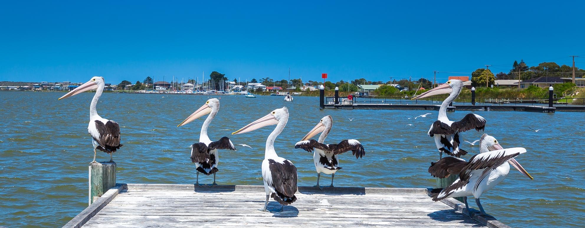 Pelicans Goolwa Wharf
