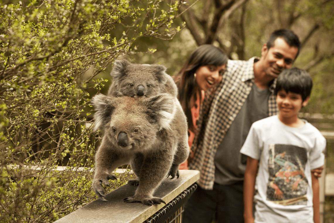 Phillip-island-koalas