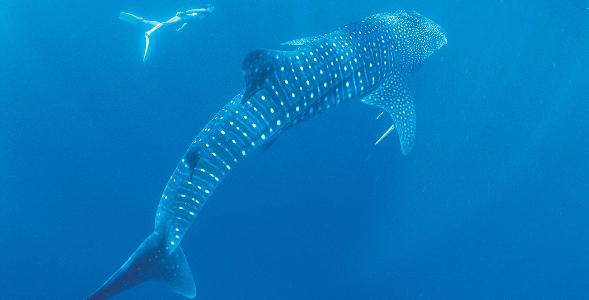 The whale sharks of Exmouth will be the highlight of your trip