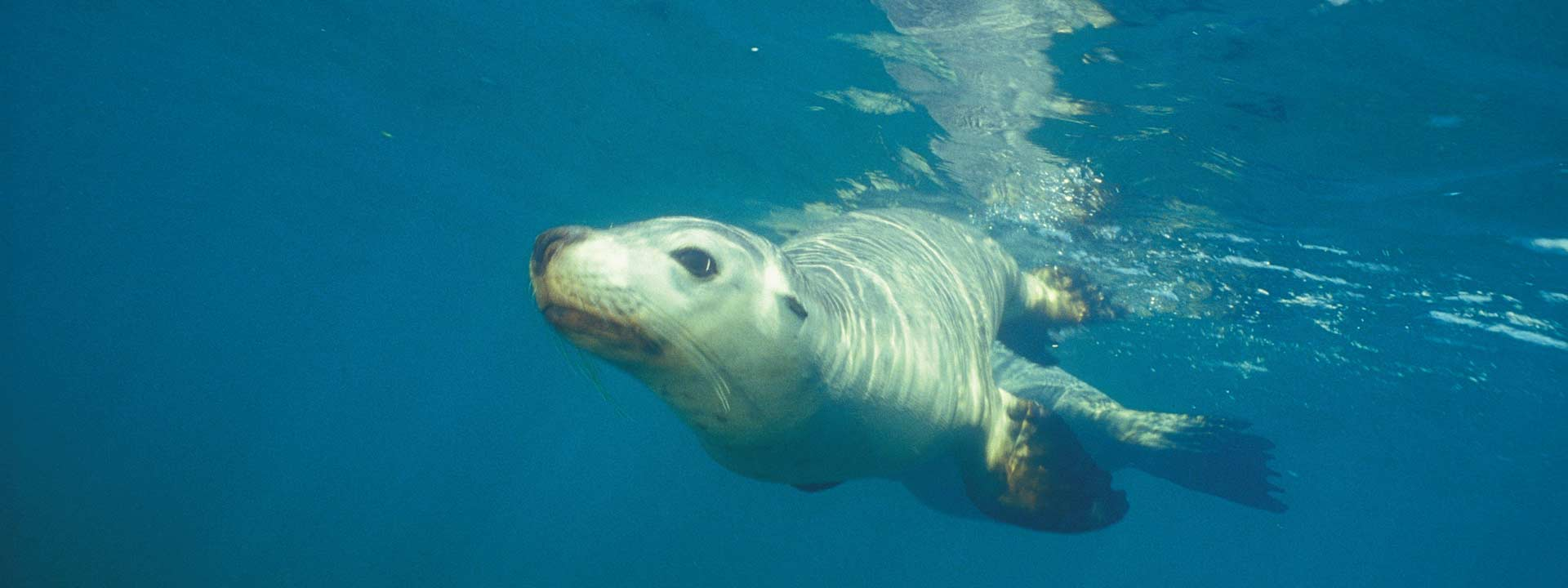 Look at cute Australia Sea Lions at Jurien Bay