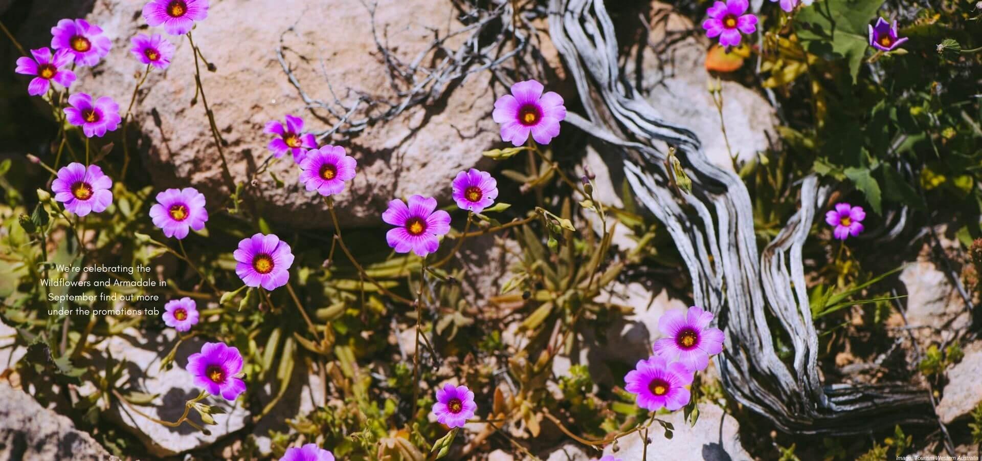 Wildflowers on Dirk Hartog Island