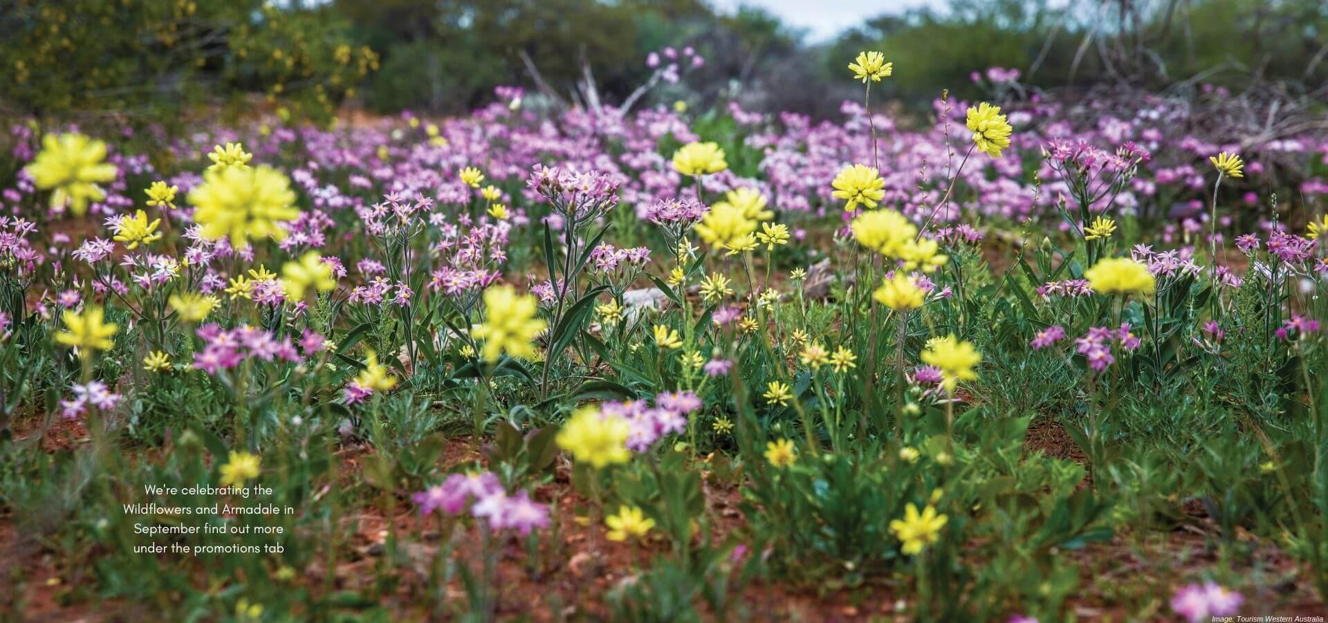 Field of Everlastings wildflowers in WA